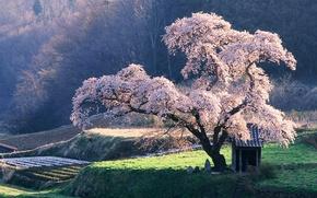 Обои Дерево, Сакура, клозет
