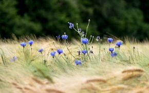 Картинка пшеница, поле, цветы, колосья, боке, васильки