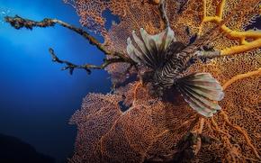 Картинка кораллы, рыба-зебра, Рыба-лев, Lionfish, полосатая крылатка