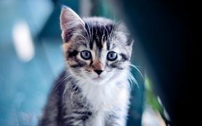 Обои котенок, kitty, cat