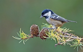 Картинка птица, ветка, шишки, синица