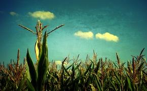 Картинка поле, небо, злаки
