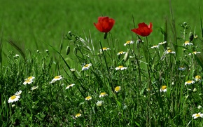 Картинка зелень, трава, цветы, маки, ромашки