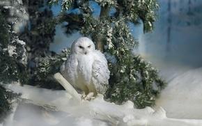 Картинка снег, ветка, сосна, полярная сова, живая природа