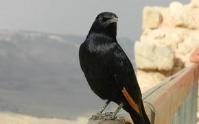 Картинка животные, птицы, Израиль, масада