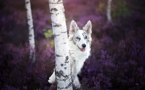 Картинка взгляд, собака, берёза
