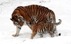Обои окрас, снег, малыш, котёнок, зима, прогулка, мех, тигрица, мама, полоски, детеныш, кошки, тигры, шерсть, дикие