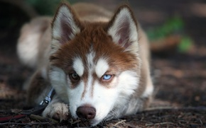 Обои собака, взгляд, хаски, глаза