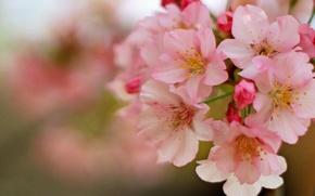 Картинка макро, вишня, весна, цветение, цветки