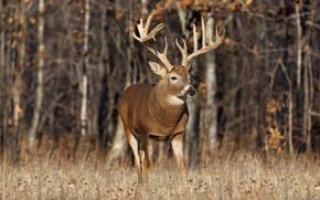 Картинка животные, трава, деревья, дерево, олень, рога, олени, леса, лось, дикая природа, лоси