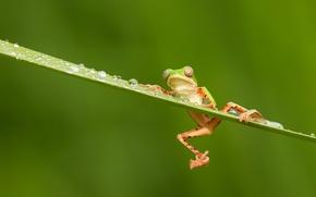 Картинка глаза, капли, дождь, лягушка, лапки, оранжевые, зеленая, rain, разноцветная, frog, eyes, orange, water drops, древесная, ...