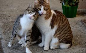 Картинка кошка, кот, цветы, улица, весна, горшок, пары