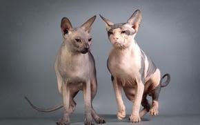 Картинка взгляд, кошки, фон, Сфинксы