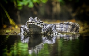 Картинка animal, crocodile, australia, reptile