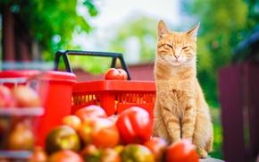 Картинка кот, усы, взгляд, природа, отдых, лапы, желтые, размытость, сад, урожай, рыжий, хвост, красные, помидоры, cat, ...