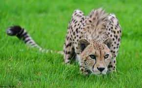 Обои трава, хищник, гепард, крадётся