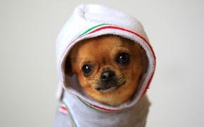 Картинка капюшон, Chihuahua, Чихуахуа