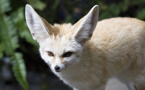 Картинка взгляд, хищник, мордочка, уши, лисица, фенек, fennec fox