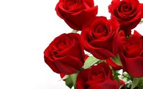 Картинка роза, red, rose, flower