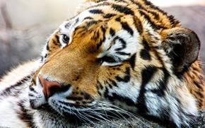 Обои морда, хищник, дикая кошка, Амурский тигр