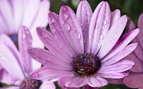 Обои цветы, сиреневые, лепестки, капельки