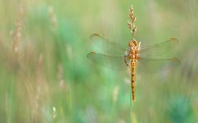Картинка лето, трава, макро, стрекоза, луг, насекомое, золотистая, стебелек, обои от lolita777