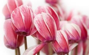 Картинка цветы, красота, лепестки, нежные, розовые, pink, flowers, beauty, petals, цикламены