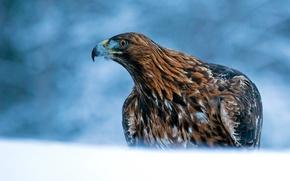 Обои Беркут, хищник, птица