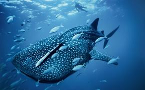 Картинка wallpaper, sea, ocean, big, water, man, fish, giant, wildlife, diving, reef, whale, sugoi, mammal, coral, …