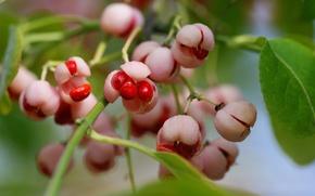 Обои семена, макро, ветка, ягоды, красные, коробочка