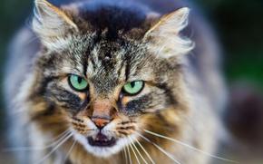 Картинка глаза, кот, усы, взгляд, фон, кошак