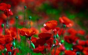 Картинка красный, мак, Цветок, flower