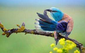 Картинка цветы, ветка, хвост, Coracias Garrulus, птица