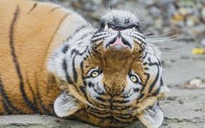 Картинка кошка, взгляд, морда, тигр, амурский, ©Tambako The Jaguar