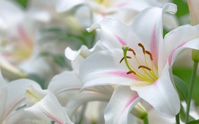 Картинка лилии, красиво, тычинки, листочки, белые, пестик