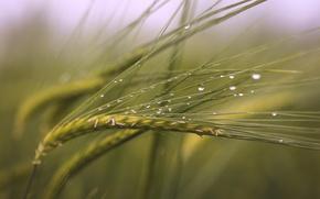 Картинка поле, капли, макро, колоски, после дождя