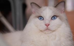 Картинка портрет, кошка, взгляд, мордочка, голубые глаза, красава, Рэгдолл