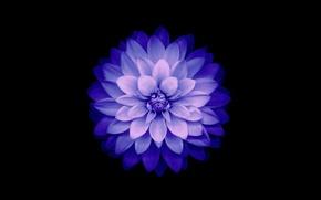 Обои цветок, лепестки, IOS 8, Blue, фон