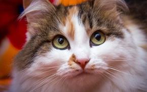 Картинка кошка, глаза, взгляд, морда, крупный план, портрет, пестрая, обои от lolita777