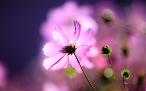 Картинка цветок, макро, свет, фон, бутоны, космея