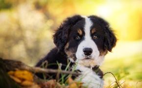 Обои взгляд, собака, щенок, мордашка, Бернский зенненхунд