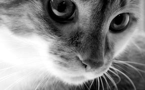 Обои взгляд, кошак, Черно-белый