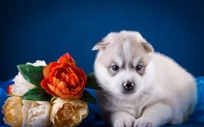Картинка цветы, малыш, щенок, хаски