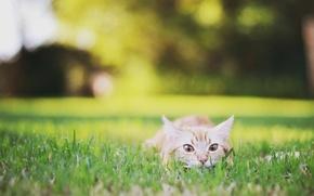 Картинка поле, трава, кот