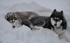 Картинка зима, снег, волк, сугроб, wolf