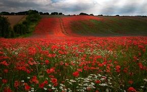Картинка поле, небо, облака, деревья, цветы, холмы, маки