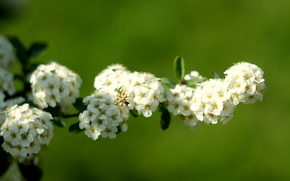 Картинка белый, макро, весна, тычинки, невеста, цветки, соцветия, кустарник