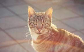 Обои взгляд, улица, шерсть, кот