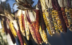 Картинка макро, кукуруза, bokeh