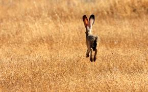 Обои поле, трава, заяц, убегающий, уши)